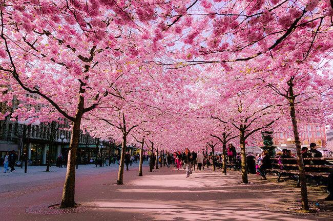 Allée de cerisiers en fleur au Japon